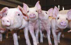 Potassium Diformate - Piglets